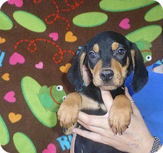 Coonhound/Labrador Retriever Mix Puppy for adoption in Oviedo, Florida - Zeb