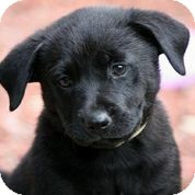 Hound (Unknown Type)/Labrador Retriever Mix Puppy for adoption in Austin, Texas - Glow
