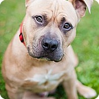 Adopt A Pet :: Copa - Reisterstown, MD