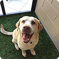 Adopt A Pet :: Huey - Cumming, GA