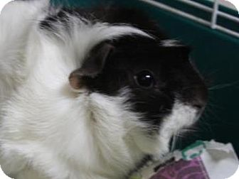 Guinea Pig for adoption in West Des Moines, Iowa - Roxy