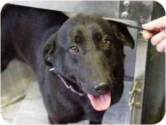 Labrador Retriever Mix Dog for adoption in Mason City, Iowa - Apollo