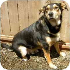 Rottweiler/German Shepherd Dog Mix Dog for adoption in Portland, Oregon - Maximus