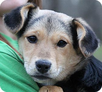 Beagle/Shepherd (Unknown Type) Mix Puppy for adoption in Chicago, Illinois - PEARL - adorable