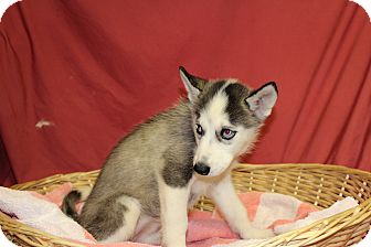 Husky Mix Puppy for adoption in Waldorf, Maryland - Swift