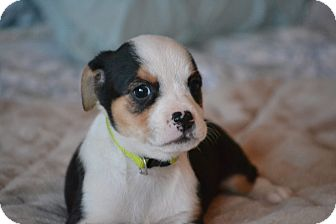 Shih Tzu/Beagle Mix Puppy for adoption in Southington, Connecticut - Basta