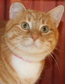 Domestic Shorthair Cat for adoption in Savannah, Missouri - Marmalade