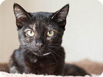 Domestic Shorthair Kitten for adoption in Pico Rivera, California - Raspberry