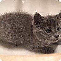 Adopt A Pet :: Tonka - Merrifield, VA