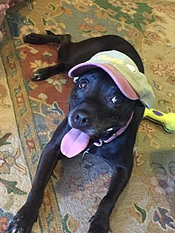 American Staffordshire Terrier/Labrador Retriever Mix Dog for adoption in Union, New Jersey - Carly, she's amazing!!