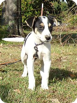 Beagle/Feist Mix Puppy for adoption in Bedminster, New Jersey - Artem
