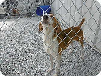 Treeing Walker Coonhound Mix Dog for adoption in Barco, North Carolina - Jim