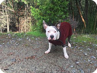 American Staffordshire Terrier Dog for adoption in Rogue River, Oregon - Miss Chloe