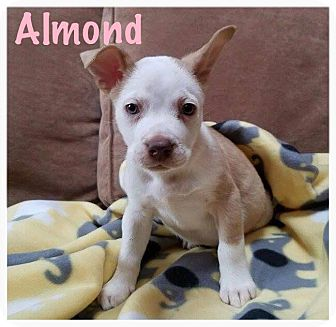 Pit Bull Terrier Mix Puppy for adoption in Hainesville, Illinois - Almond