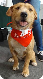 Wirehaired Pointing Griffon Mix Dog for adoption in Pierrefonds, Quebec - Kira