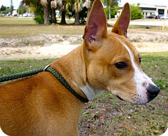 Basenji/American Staffordshire Terrier Mix Dog for adoption in Ft Myers Beach, Florida - SAVE ME!!