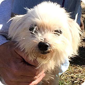 Maltese Mix Dog for adoption in Oak Ridge, New Jersey - Kalvin