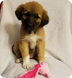 German Shepherd Dog/Great Pyrenees Mix Puppy for adoption in Elkton, Maryland - Phoebe