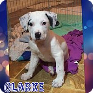 Cattle Dog Mix Puppy for adoption in Tomah, Wisconsin - Clark