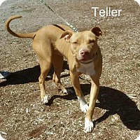 Pit Bull Terrier Mix Dog for adoption in Yreka, California - Teller