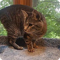Domestic Shorthair Cat for adoption in Forest Lake, Minnesota - Sara Lee
