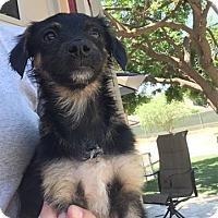 Adopt A Pet :: Gus - Temecula, CA