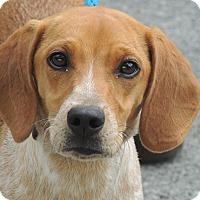 Adopt A Pet :: Copper - Brattleboro, VT