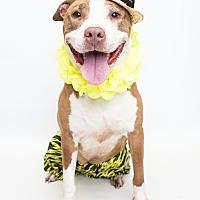 Adopt A Pet :: Rock - Reisterstown, MD
