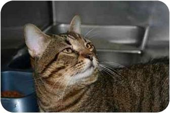 Domestic Shorthair Cat for adoption in Saint Charles, Missouri - Valentino