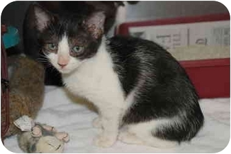 Domestic Shorthair Kitten for adoption in Putnam Hall, Florida - Billy