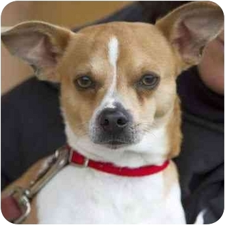 Rat Terrier Mix Dog for adoption in Berkeley, California - Joshie