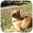 Photo 1 - Labrador Retriever/Shepherd (Unknown Type) Mix Dog for adoption in Coral Springs, Florida - Tough Guy