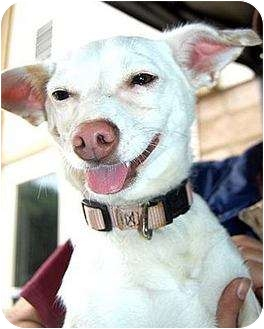 Chihuahua Mix Dog for adoption in Santa Barbara, California - Chole