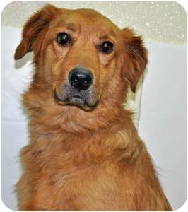 Retriever (Unknown Type) Mix Dog for adoption in Port Washington, New York - Crosby