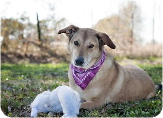German Shepherd Dog/Collie Mix Dog for adoption in Portsmouth, Rhode Island - Molly w/video!