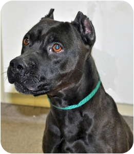 Pit Bull Terrier Dog for adoption in Port Washington, New York - Panther