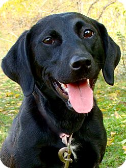 Jack Russell Terrier/Labrador Retriever Mix Dog for adoption in Jackson, Michigan - Paisley
