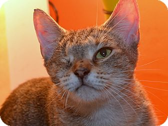 Abyssinian Cat for adoption in Brooklyn, New York - Lady Ma