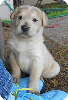 Golden Retriever/Husky Mix Puppy for adoption in Torrance, California - CINDERELLA