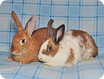 Dutch Mix for adoption in Chesterfield, Missouri - Gingerbread, Taffy and Fawn