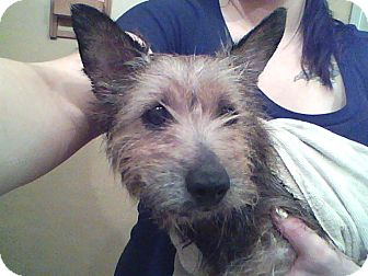 Cairn Terrier Dog for adoption in Prole, Iowa - Tonto