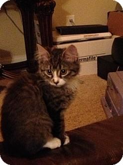 Japanese Bobtail Kitten for adoption in Nashville, Tennessee - Lovely