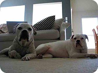 American Bulldog Mix Dog for adoption in Houston, Texas - Zeus