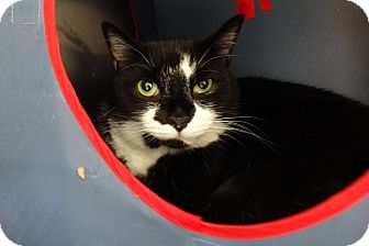 Domestic Shorthair Cat for adoption in Elyria, Ohio - Spooky