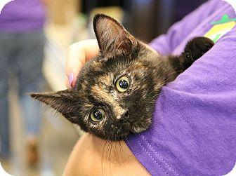 Domestic Shorthair Cat for adoption in Plano, Texas - BELLA - TORTIE CUTIE!!!
