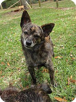 Chihuahua Dog for adoption in Davie, Florida - Saiko