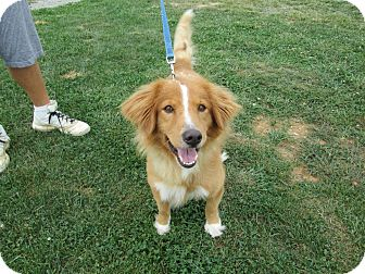 Collie Dog for adoption in LaGrange, Kentucky - Pixie
