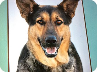 German Shepherd Dog Mix Dog for adoption in Los Angeles, California - OPAL VON OHM