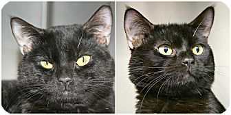 Domestic Shorthair Cat for adoption in Forked River, New Jersey - Dymond