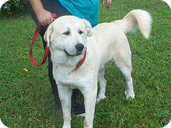 Anatolian Shepherd/Great Pyrenees Mix Dog for adoption in Odessa, Florida - MICK